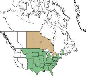 Kje raste ameriški slamnik